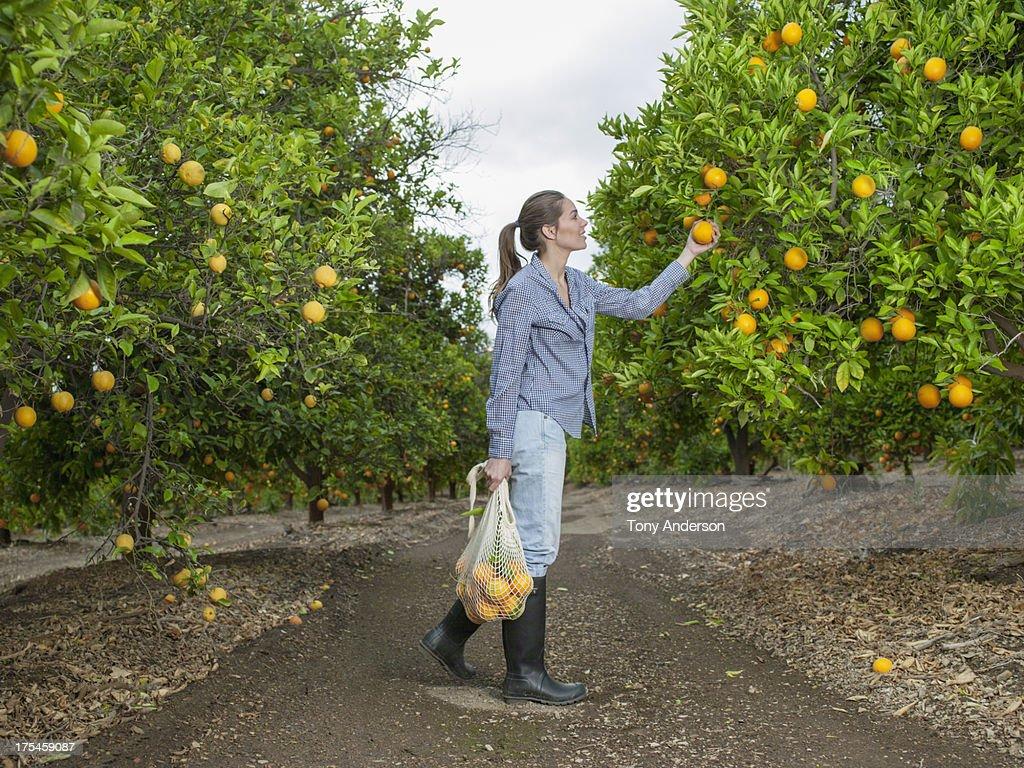 Woman harvesting oranges in grove : Stock Photo