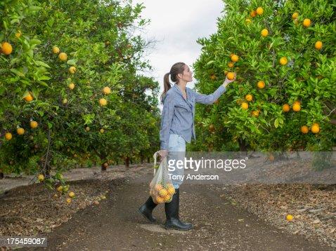 Woman harvesting oranges in grove