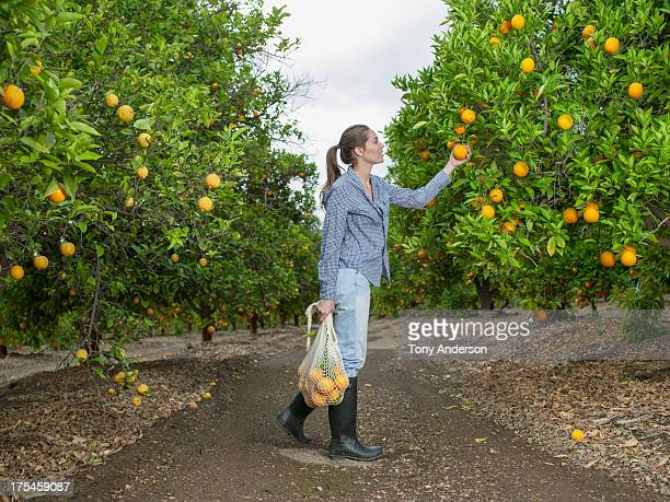 Woman harvesting oranges in grove
