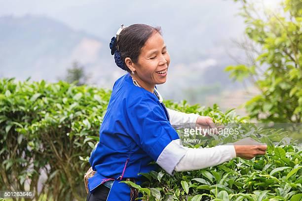 Woman Harvesting Tea China Chengyang