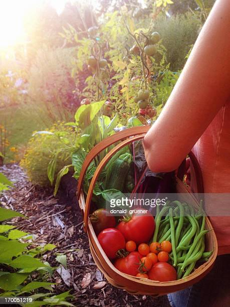 Woman Harvesting Tomatoes, Beans and other Vegetables from the Garden
