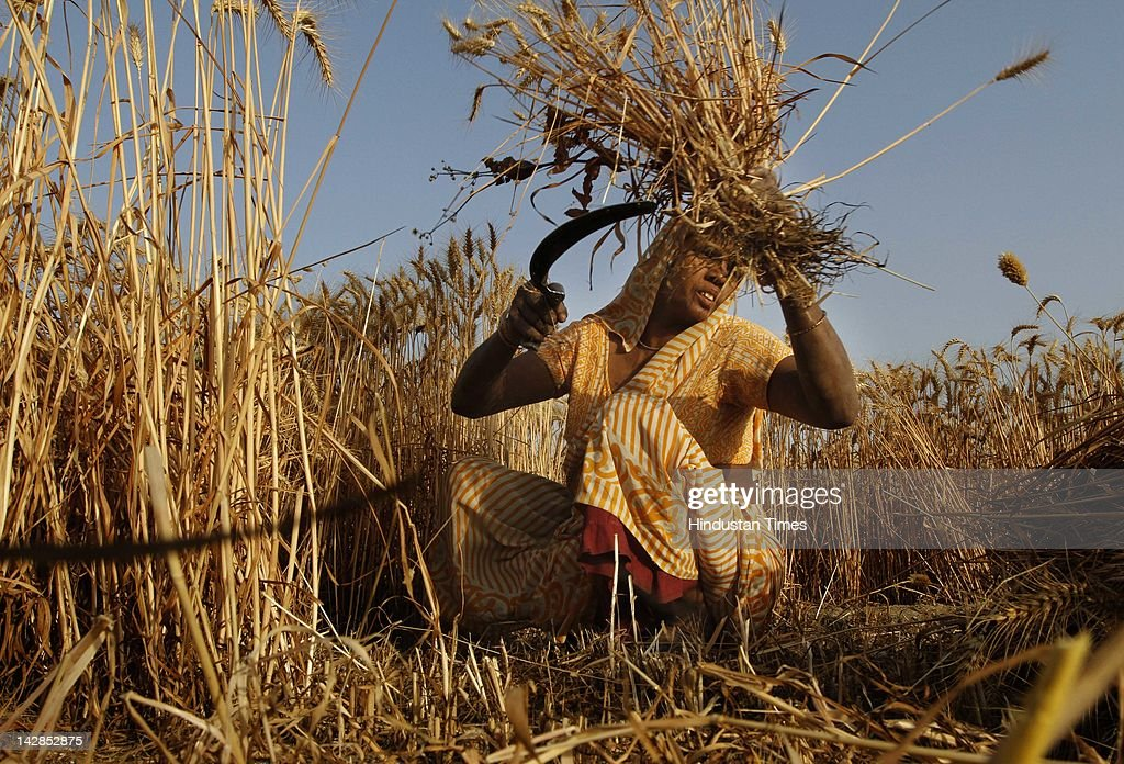 A woman harvests a wheat crop near the banks of the Yamuna on April 13, 2012 in New Delhi, India. The wheat harvest in India this year is expected to record 87.5 million metric tons.