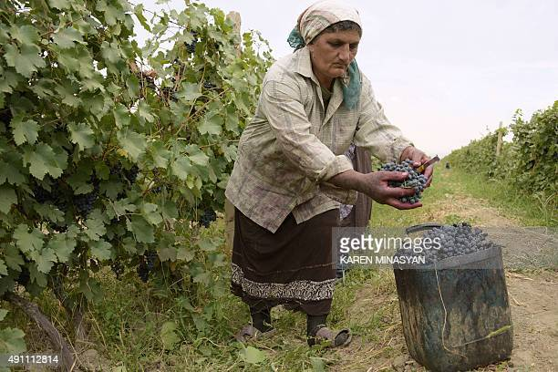 A woman harvests grapes at a vineyard in the village of Aigavan outside Armenia's capital Yerevan on October 2 2015 AFP PHOTO / KAREN MINASYAN