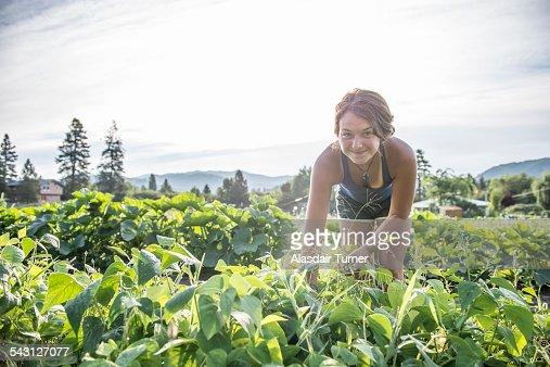 Woman harvests organic green beans.
