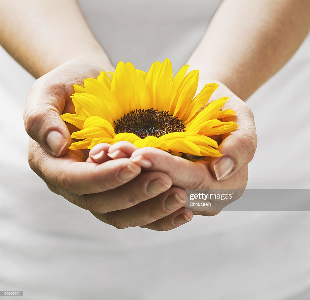 Woman holding a sunflower bloom in cupped hands. : Stock Photo