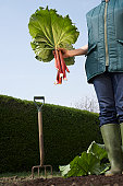 Woman holding bunch of rhubarb in garden, low angle view