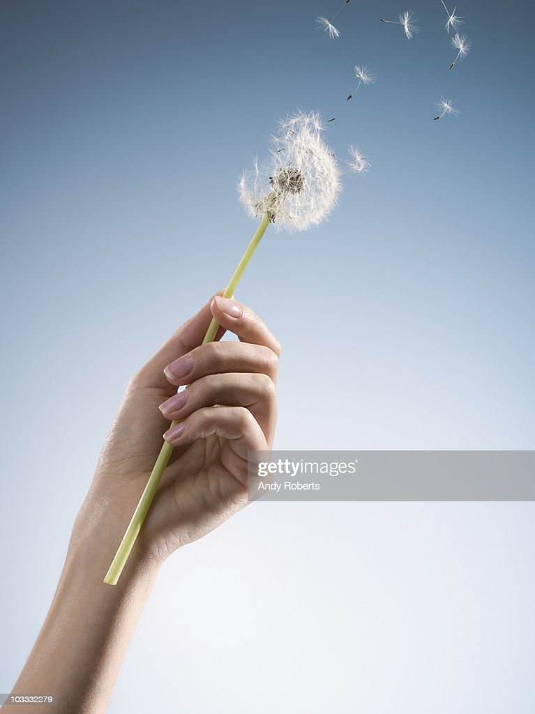 Woman holding dandelion with seeds blowing : Stock Photo