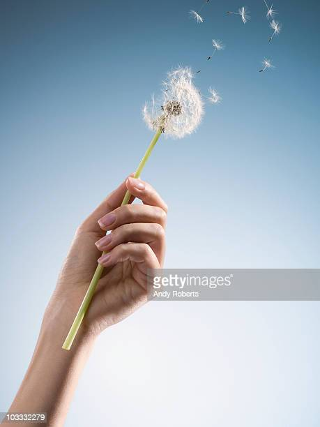 Woman holding dandelion with seeds blowing