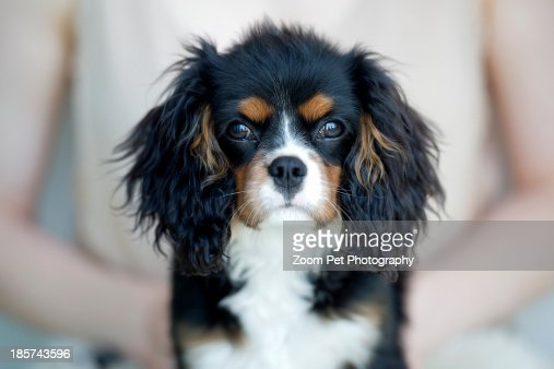 Woman holding king charles spaniel : Stock Photo