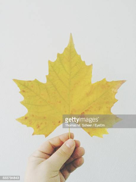 Woman Holding Maple Leaf On White Background