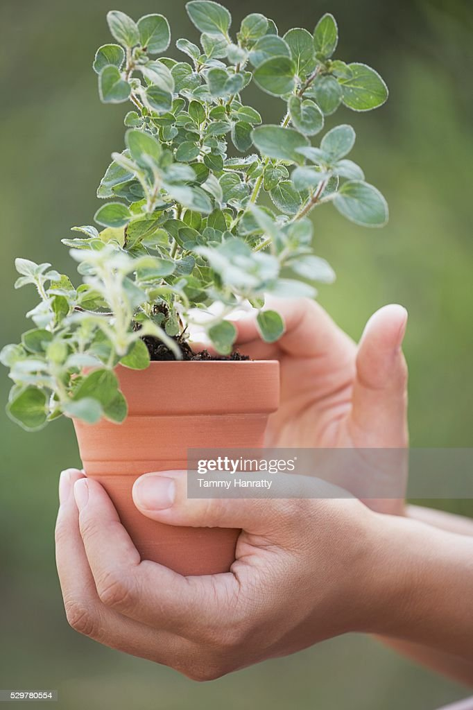 Woman holding potted oregano plant : Stock-Foto