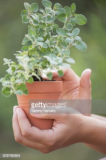 Woman holding potted oregano plant : Stock Photo