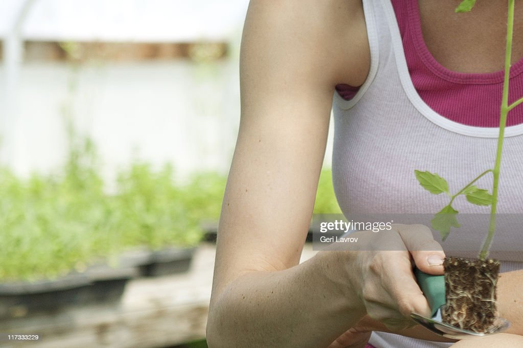 Woman holding tomato seedling : Stock Photo