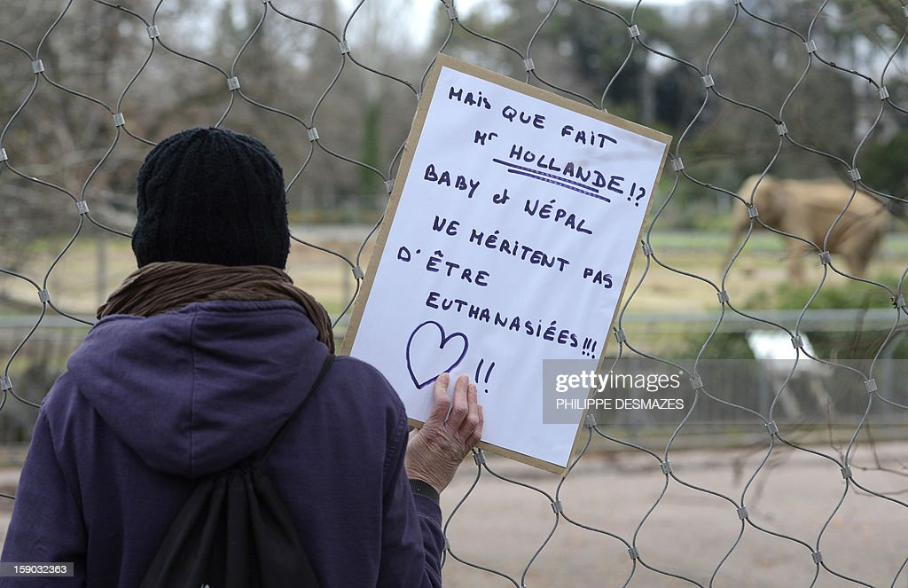 A woman holds a placard reading 'What Mister Hollande (president Hollande) is doing? Baby and Nepal don't deserve to be euthanized ' during a demonstration to save Baby and Nepal, two elephants suffering from tuberculosis on January 6, 2013 at the 'Parc de la Tête d'Or' Zoo in Lyon, central eastern France. The two ailing middle-aged elephants that French officials have wanted put down have been given a Christmas reprieve after an appeal to President Francois Hollande and an Internet campaign to save them. AFP PHOTO/PHILIPPE DESMAZES
