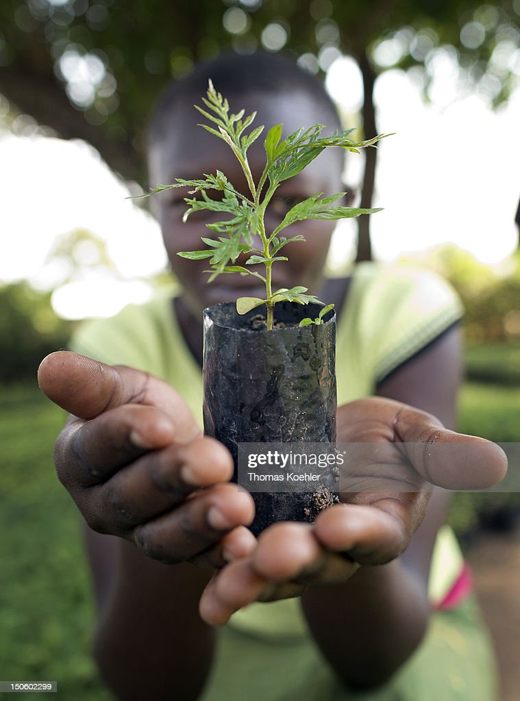 A woman holds a small Grevillea Robusta tree in a tree nursery on August 17, 2012, in Moro, Kenya. The tree nursery belongs to the Moro Self Help Group, a development aid project that should help people to get an additional income.