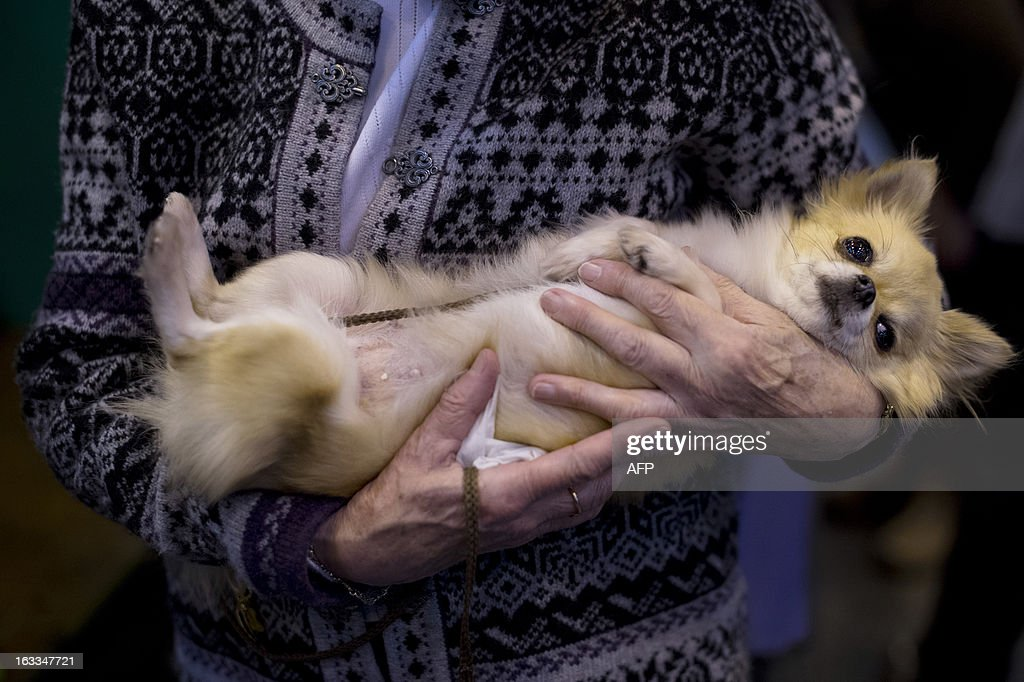 A woman holds her chihuahua during the second day of the Crufts dog show in Birmingham, in central England on March 8, 2013. The annual event sees dog breeders from around the world compete in a number of competitions with one dog going on to win the 'Best in Show' category.