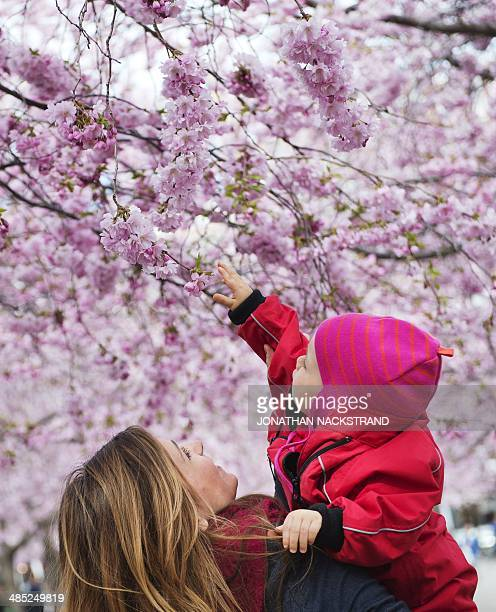 A woman holds her daughter under cherry trees in full blossom at Kungstradgarden in Central Stockholm on April 17 2014 AFP PHOTO/JONATHAN NACKSTRAND