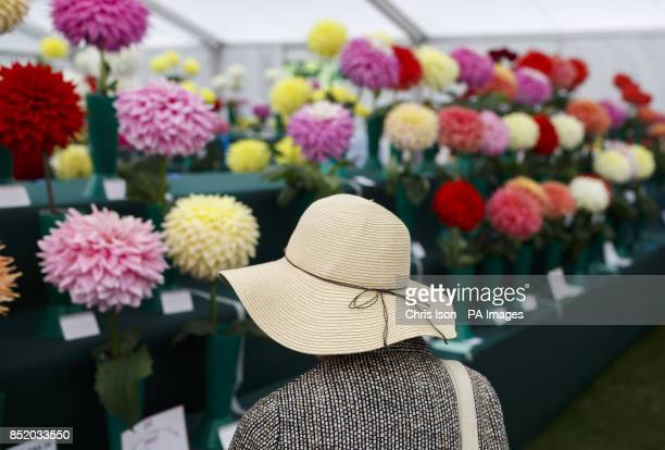 A woman in a sun hat looks at the flowers at the National Dahlia Society's Annual Show at RHS Wisley in Surrey around 100 exhibitors entered the 80...