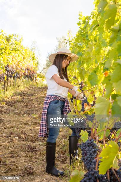 Woman in a vineyard in Tuscany harvesting grape