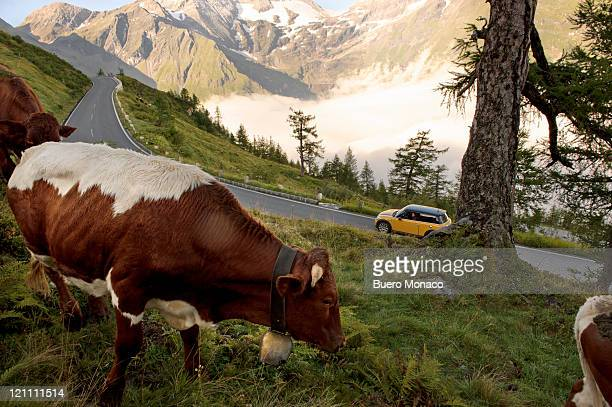 woman in car looking at cows in mountains