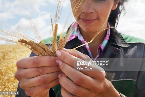 Woman in field of wheat checking the quality .
