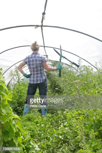 Woman in overgrown poly tunnel holding sheirs : Stock Photo