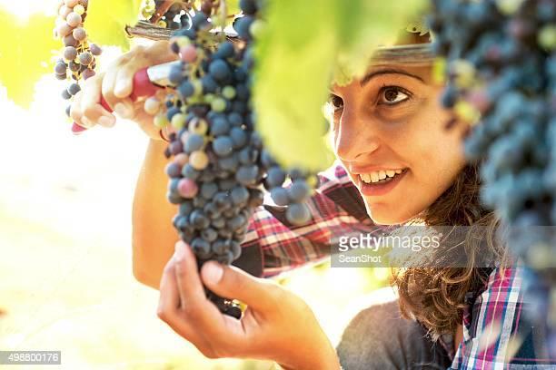 Femme dans la récolte des raisins du vignoble