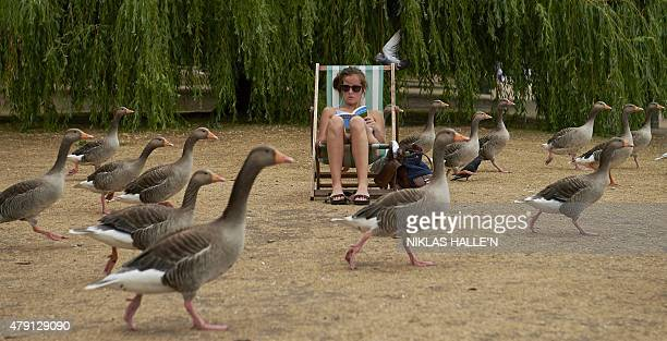 A woman is surrounded by geese as she reads a book in London's Hyde Park on July 1 2015 The mercury was pushing 40C across much of northern Europe on...