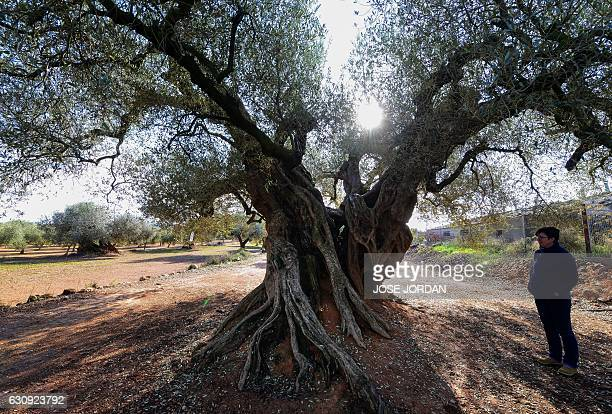 spanish olive stock photos and pictures getty images