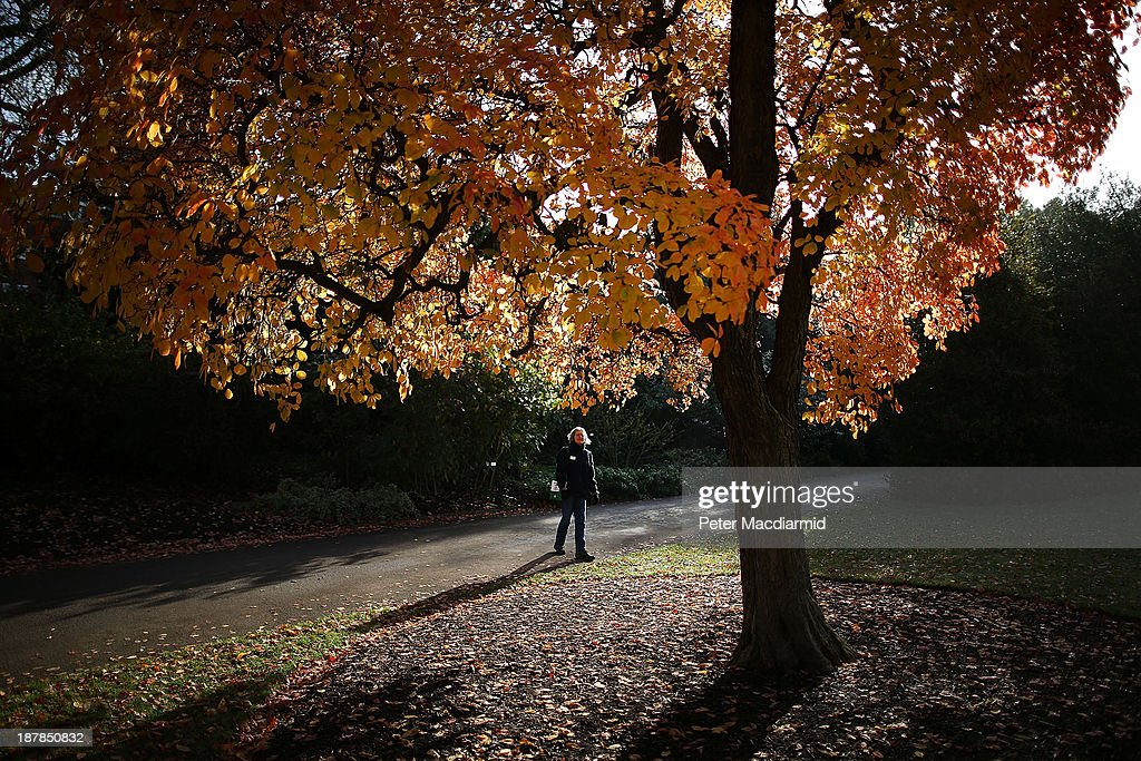 A woman looks up at a colourful tree in the Royal Botanic Gardens, Kew on November 13, 2013 in London, England. Autumn's colours are showing later in the season this year due to a record cold spring.