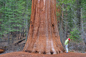 Woman looks up into sequoia
