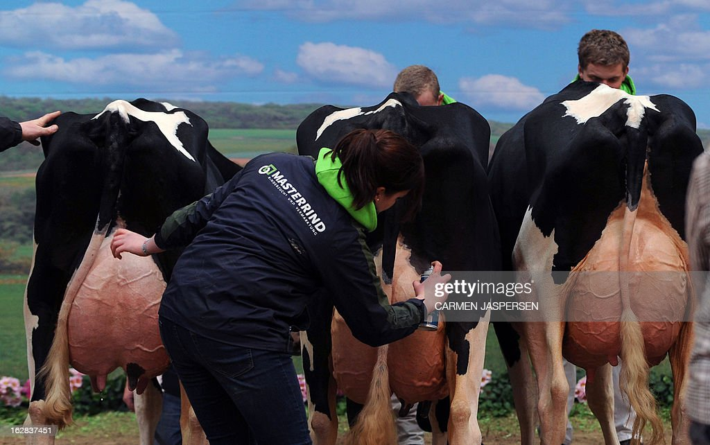 A woman makes up cows for a photocall at the '40th Show of the Best' agricultural exhibition on February 28, 2013 in Verden, western Germany. During the annual show, cows from the region compete for the 'Miss' title of the exhibition's beauty contest. AFP PHOTO / CARMEN JASPERSEN GERMANY OUT