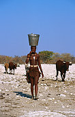 Woman of Himba tribe carrying water on head with cows following.