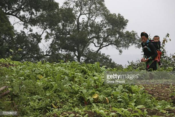 A woman of Miao ethnic origin carrying a baby walks in a field at Basha Village on October 20 2006 in Congjiang County of Qiandongnan Miao and Dong...