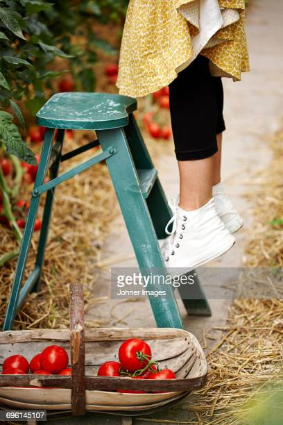 Woman on ladder picking tomatoes, low section