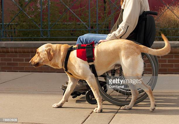 Woman on wheelchair with yellow Labrador, side view