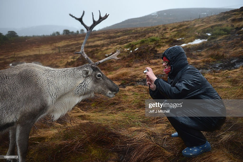 A woman photographs a reindeer during feeding at the Cairgorm Herd on December 22, 2012 in Aviemore, Scotland. Reindeer were introduced to Scotland in 1952 by Swedish Sami reindeer herder, Mikel Utsi. Starting with just a few reindeer; the herd has now grown in numbers over the years and is currently at about 130 by controlling the breeding. The herd rages on 2,500 hectares of hill ground between 450 and 1,309 meters and stay above the tree line all year round regardless of the weather conditions.