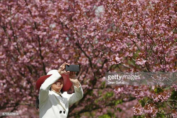 A woman photographs blossoming cherry trees on April 20 2017 in Berlin Germany Farmers are concerned that a recent cold snap that brought snow...