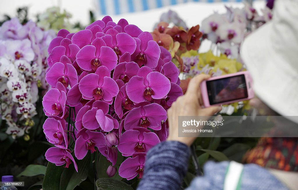 Woman photographs orchards with a mobile phone at a stall at the 2013 Hong Kong Flower Show at Victoria Park on March 15, 2013 in Hong Kong, Hong Kong. The 2013 Hong Kong Flower Show opened today and will continue until March 24, 2013.