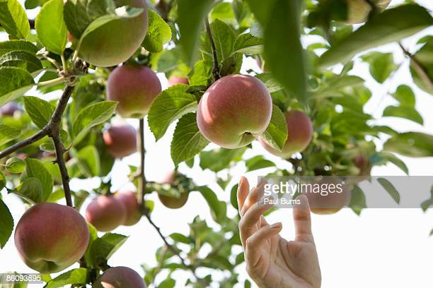 Woman Picking Apple Off of Apple Tree in Orchard