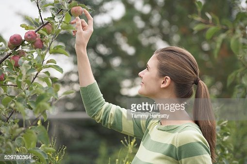 Woman picking apples : Stockfoto