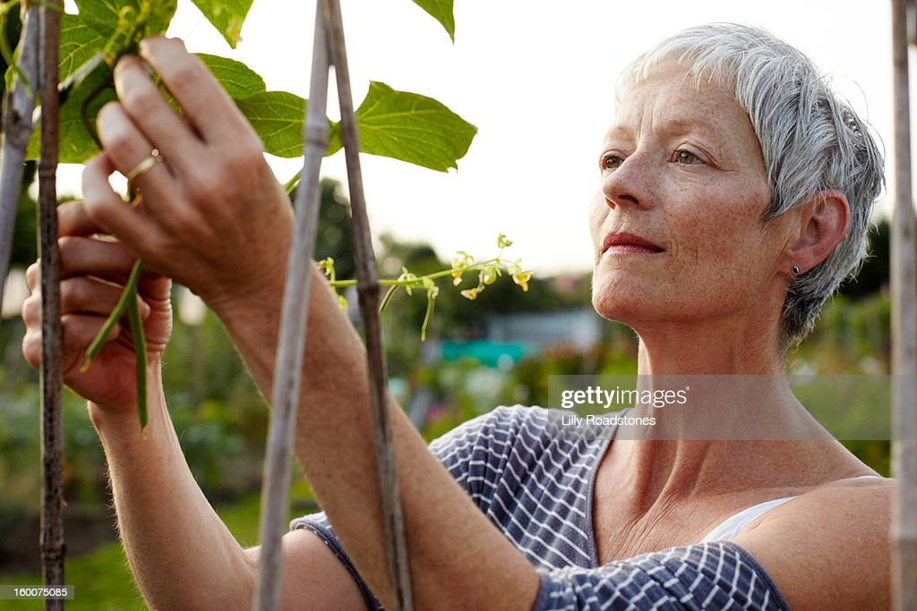 Woman picking beans on an allotment : Stock Photo