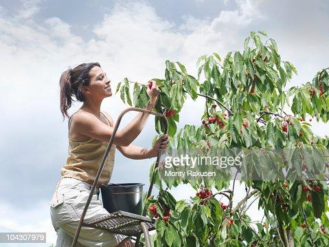 Woman picking cherries from tree : Stock Photo