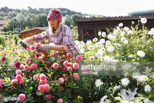 Woman Picking Flowers From Cutting Garden Stock Photo Getty Images