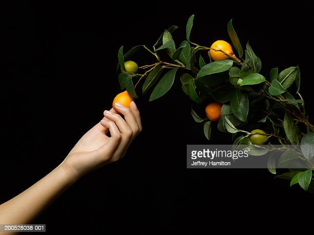 Woman picking fruit from branch, side view