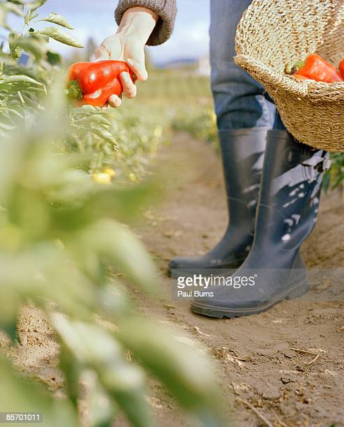 Woman picking red pepper