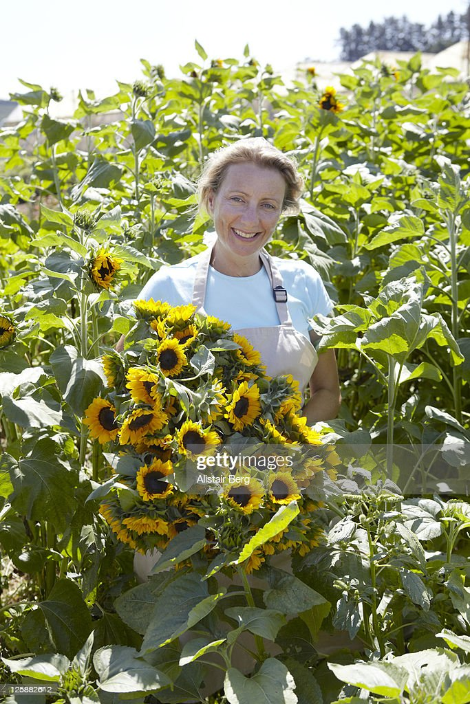 Woman picking sun flowers : Stock Photo