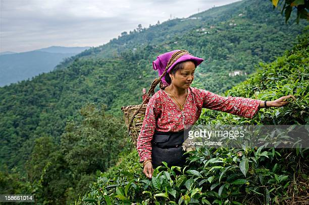 A woman picking tea along mountain slopes of Darjeeling The mountains around Darjeeling are naturally gifted with the perfect soil and climate for...