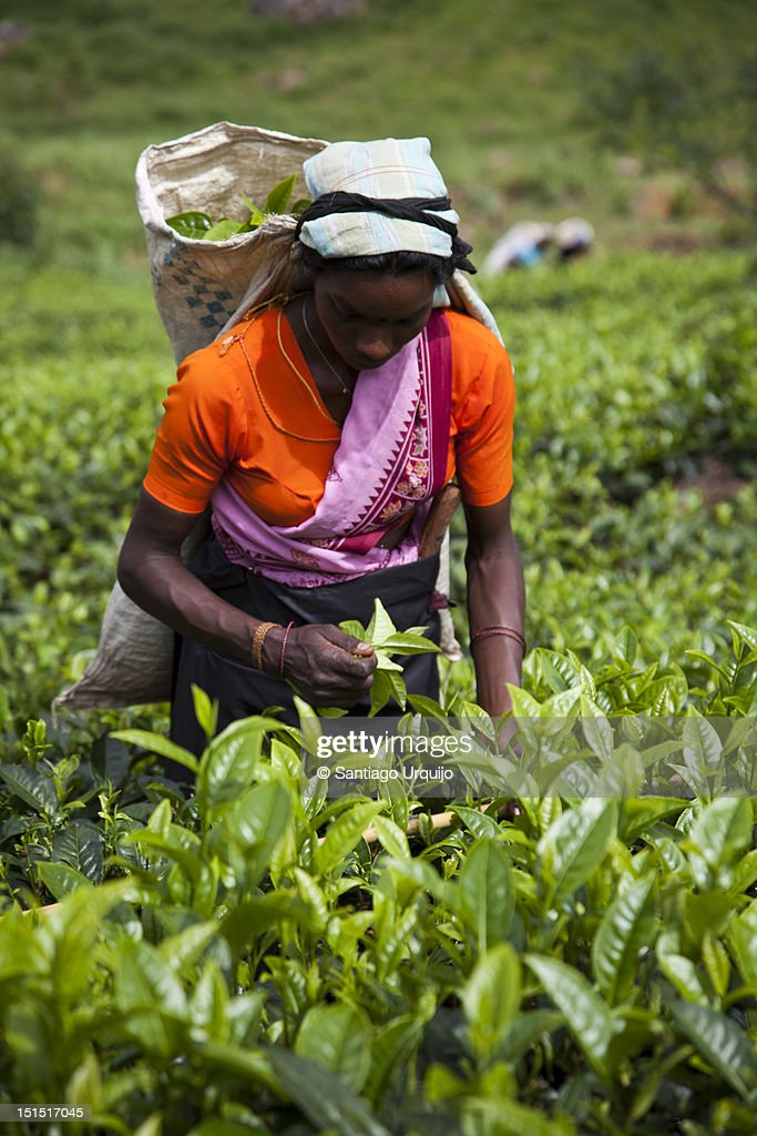 Woman picking up tea leaves : Stock Photo