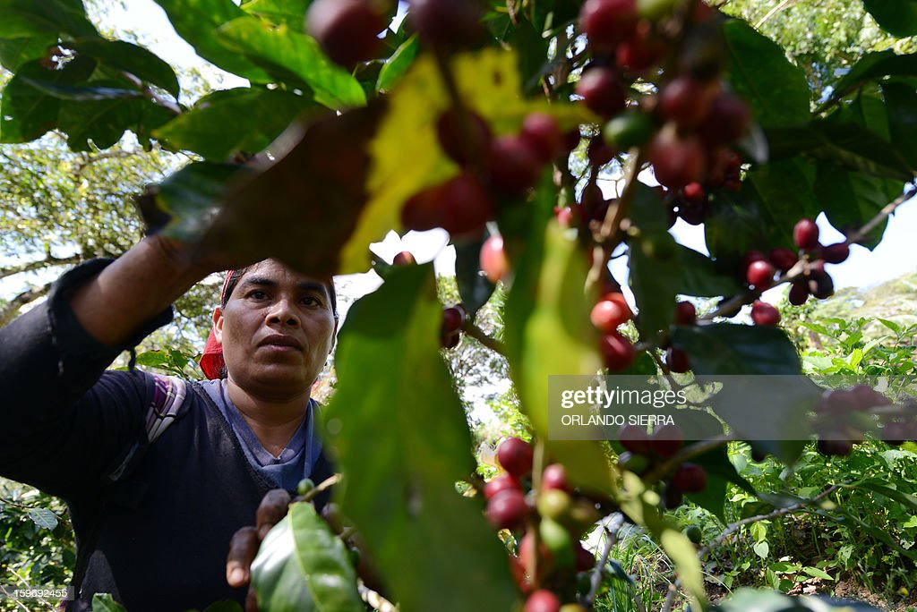 A woman picks coffee beans during harvest in Finca Santa Elena, in the department El Paraiso, 110 kms east of Tegucigalpa, on Januray 17, 2013. Central America, one of main producers of the best Arabica Coffee, is analyzing to take measures to combat the plague already threatening more than one third of the bean crop, one of the region's major export item. AFP PHOTO/Orlando SIERRA